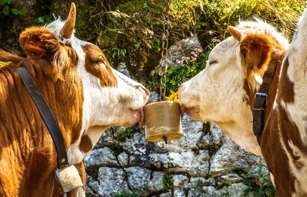 Why Do Animals Need Salt? - Koyuncu Salt